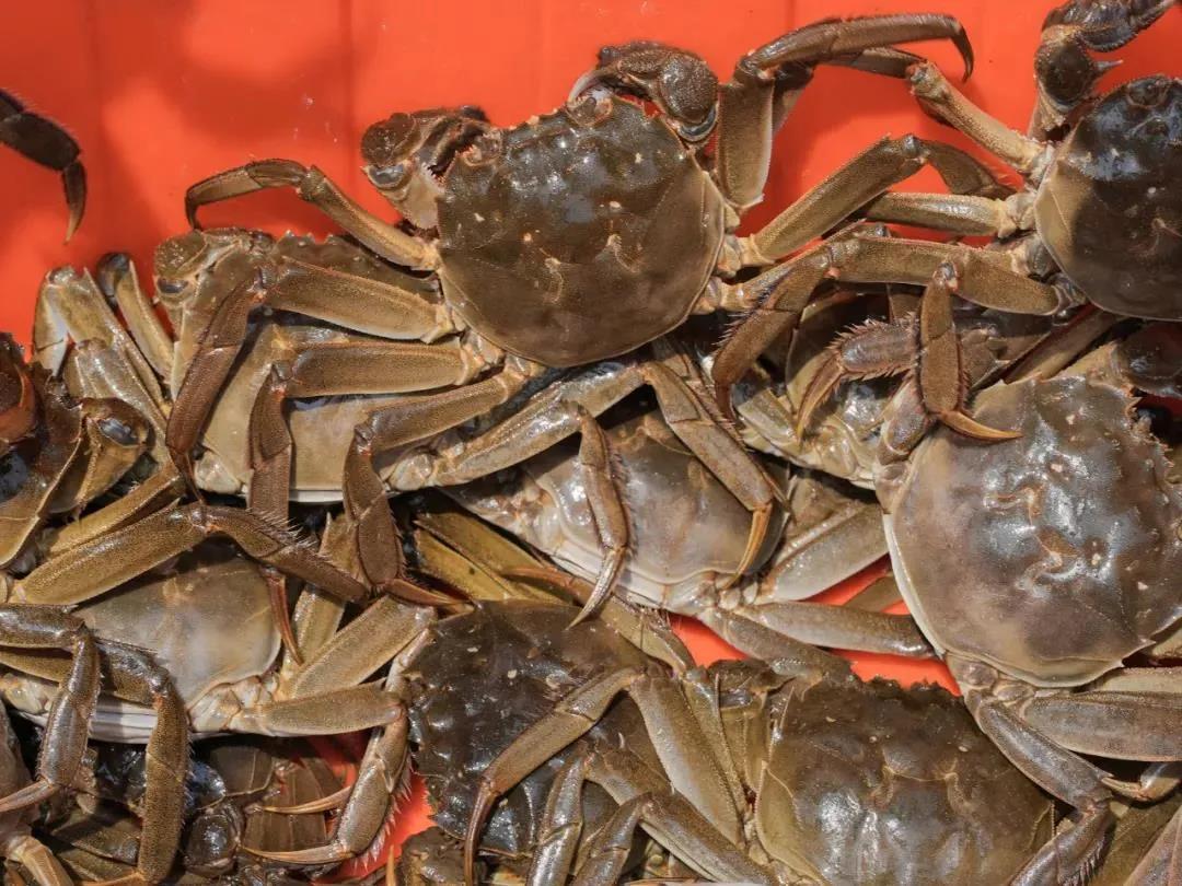Suzhou Yangcheng Lake Crab